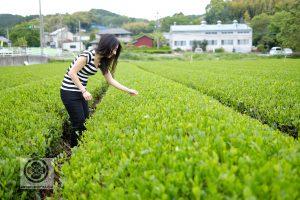 Plantation de thé à Shizuoka