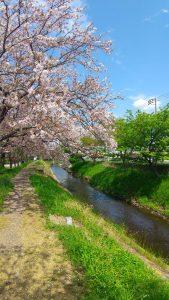 Fleurs de cerisier 'Sakura'