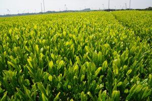 Tea plantation in Shizuoka