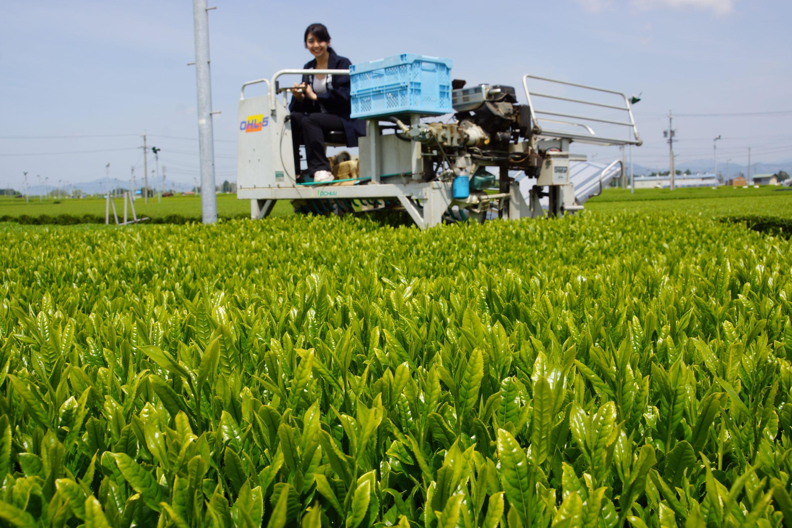 Champs de thé à Shizuoka